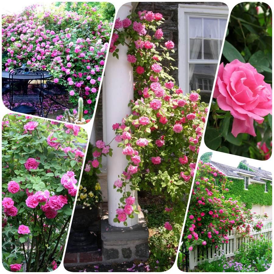 Zephirine Drouhin róże pnące historyczne