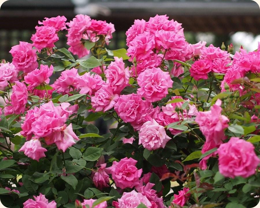 róże pnące historyczne Zephirine Drouhin