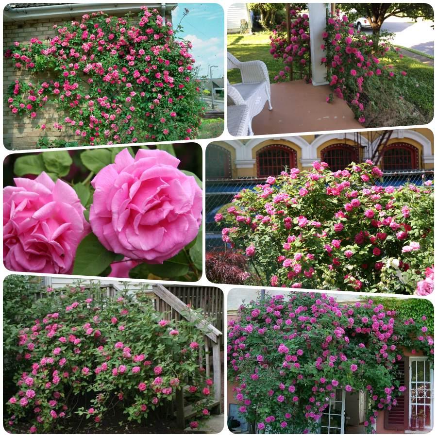 róże historyczne pnące Zephirine Drouhin