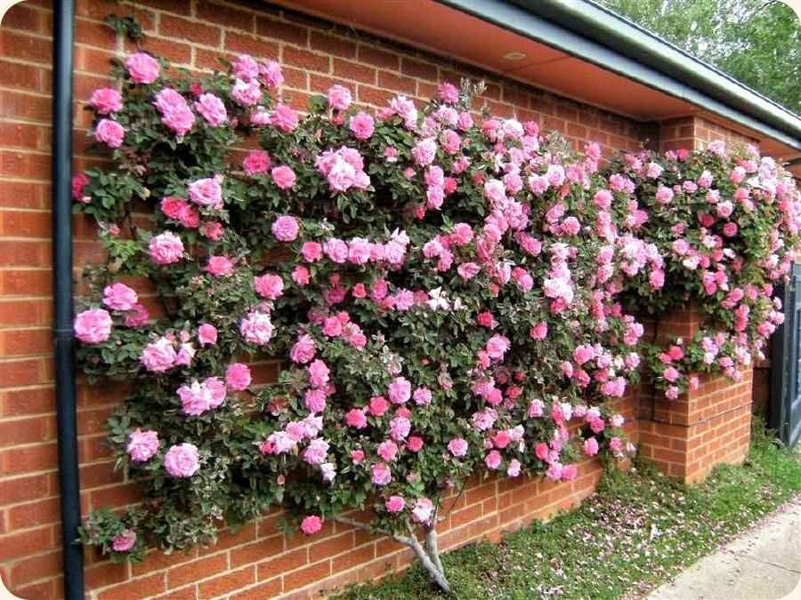 historyczne róże pnące Zephirine Drouhin