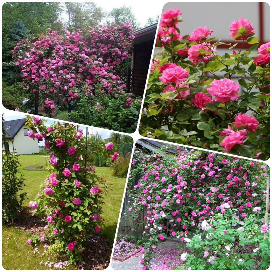 Zephirine Drouhin historyczne róże pnące
