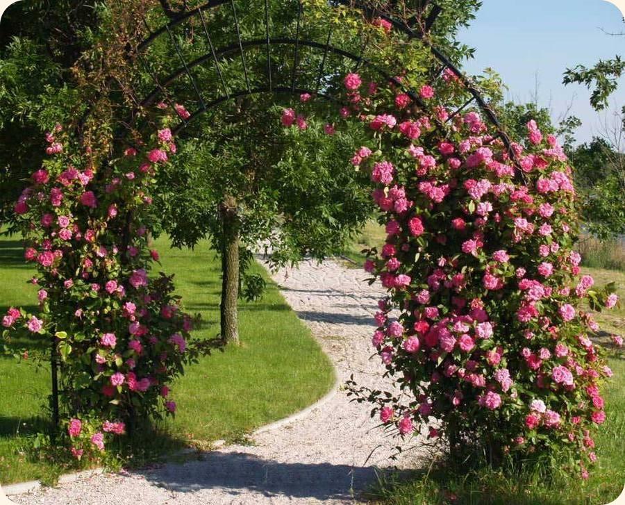 Zephirine Drouhin odporne historyczne róże pnące