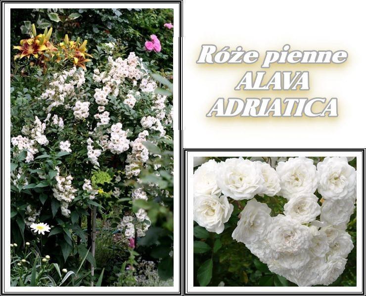 alava adriatica róże pienne