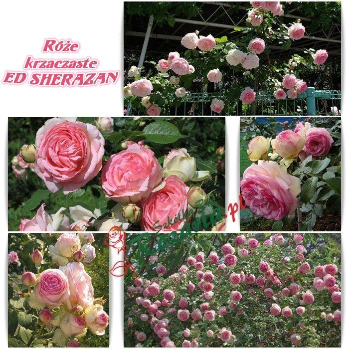 ed sharazan róże krzaczaste