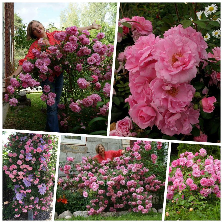 john davis róże kanadyjskie pnące