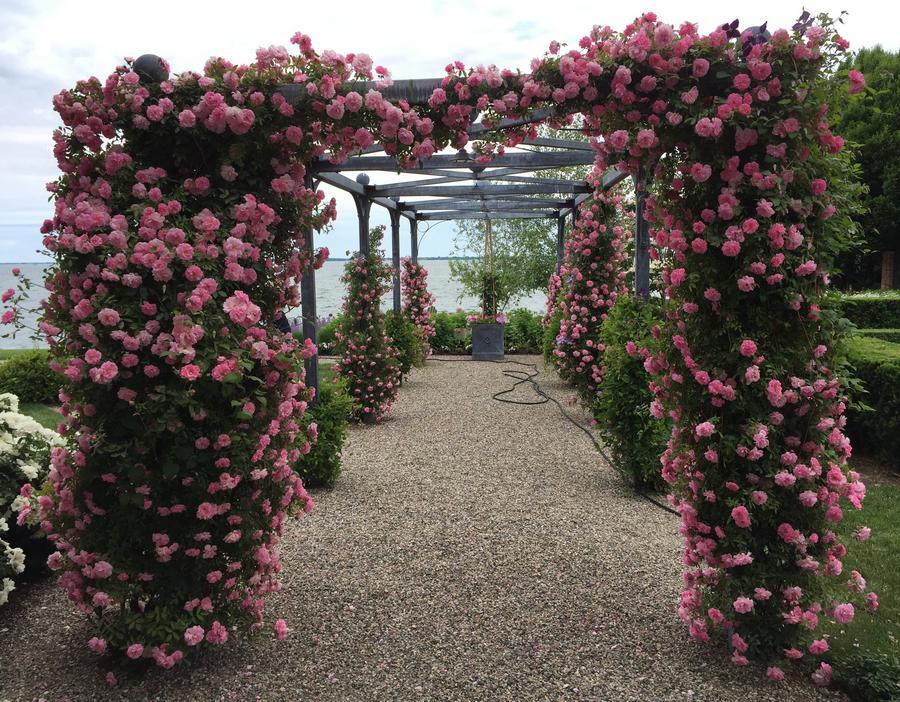john davis odporne  róże kanadyjskie pnące