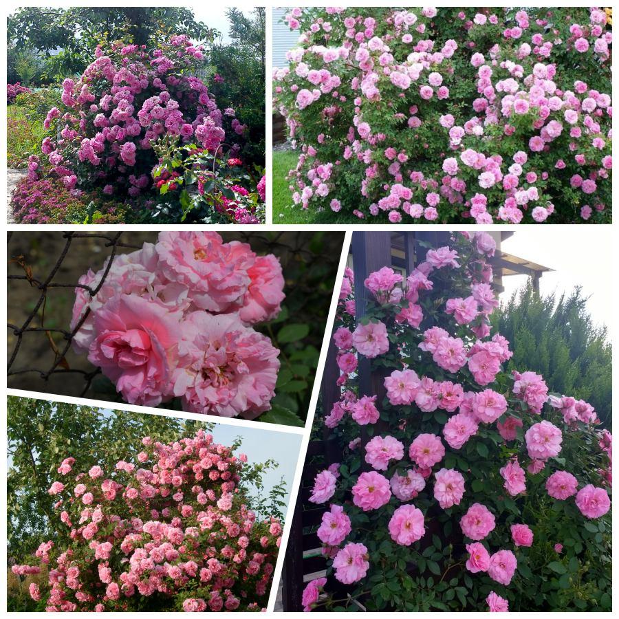 pnące róże kanadyjskie john davis