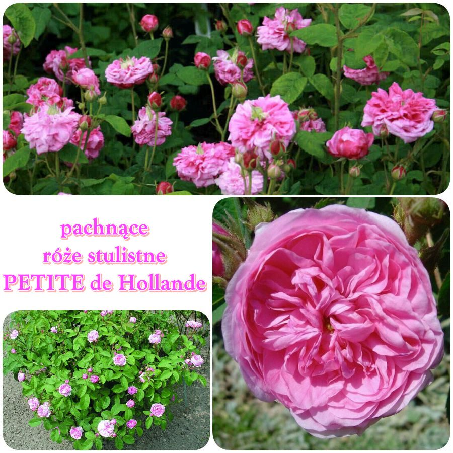 petite de holande róże stulistne