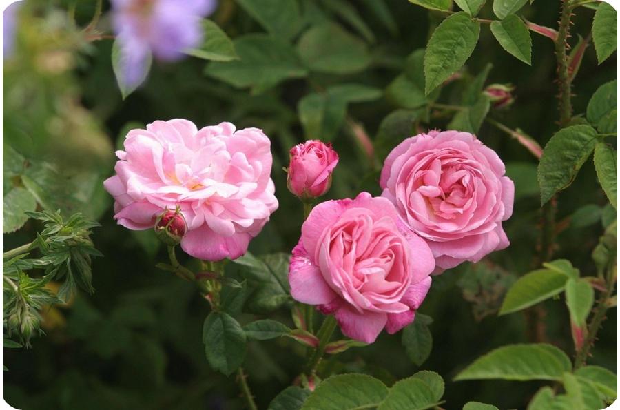 petite de hollande róże stulistne