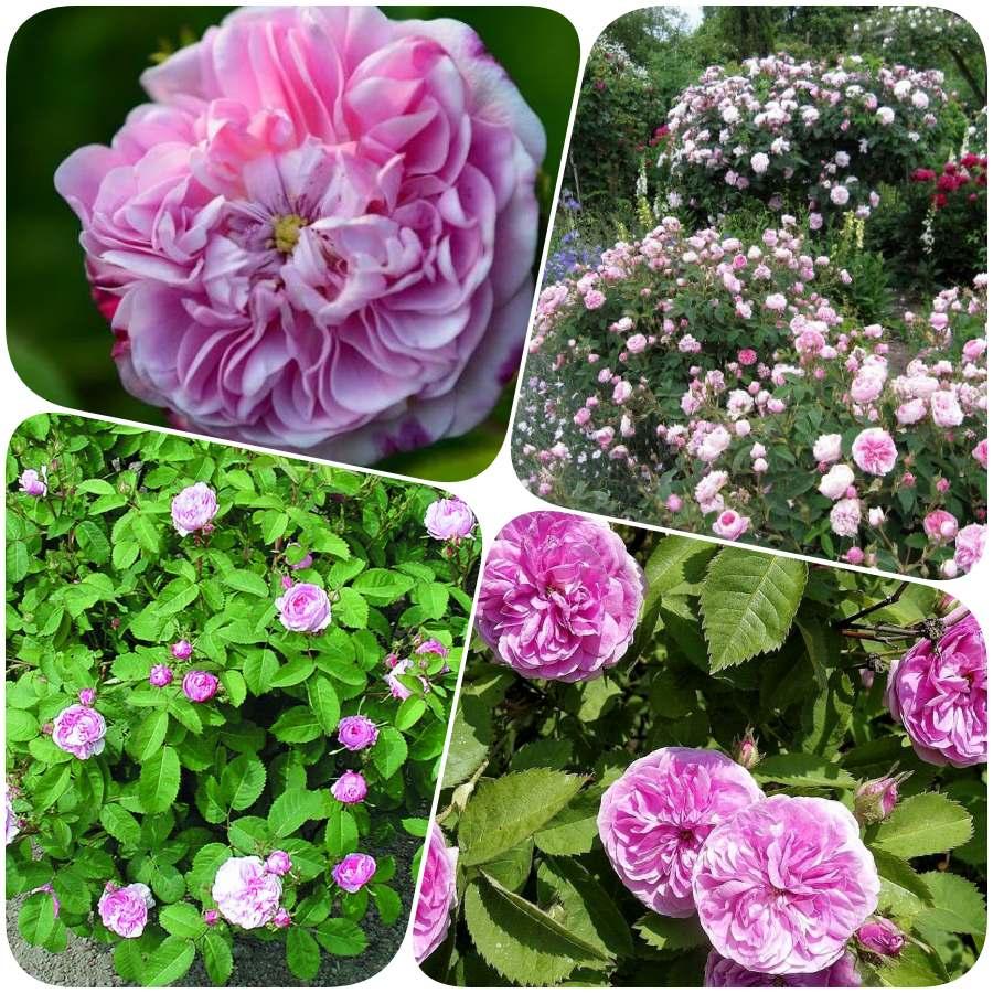 petite de holande stulistne róże