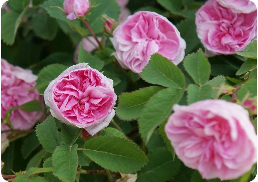 stulistne róże petite de holande