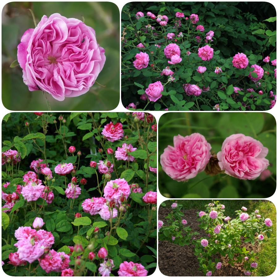 pachnące stulistne róże petite de hollande