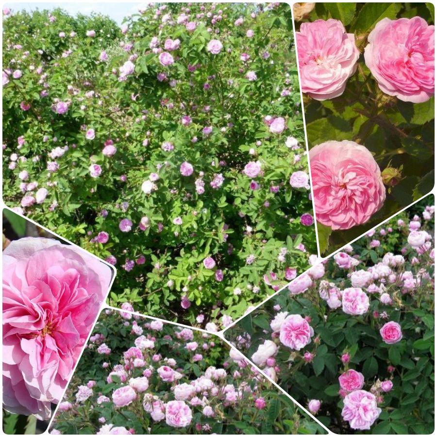 petite de hollande pachnące stulistne róże