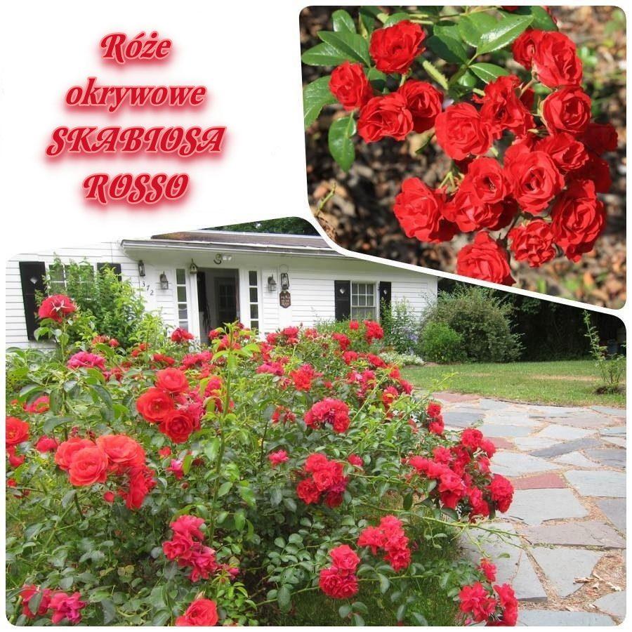 Skabiosa rosso róże okrywowe