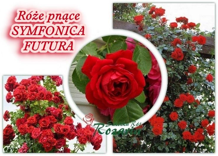 Symfonica futura róża pnąca