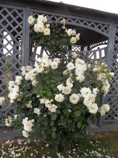 białe odporne róże