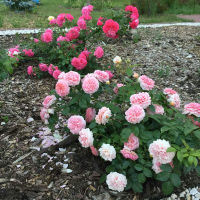 kolekcja różana