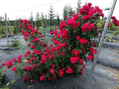 róża paulsscarlet climber