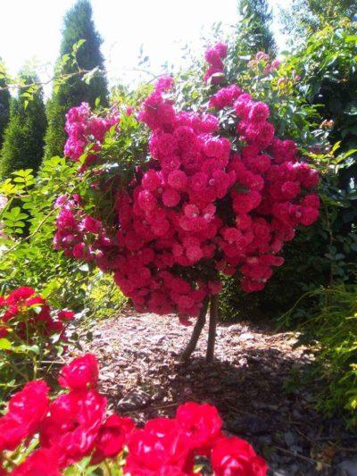 róża pienn super excelsa