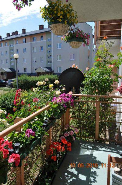 róże na balkonie