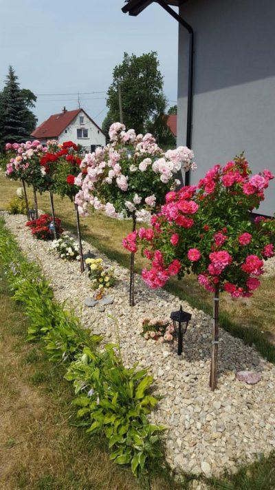 róże pienne haidetraum bonica poulman
