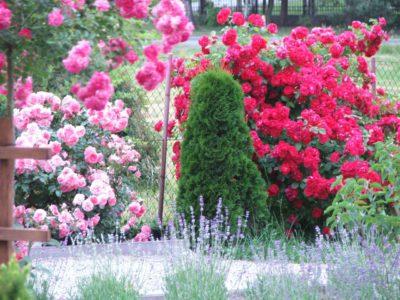 róże pnące i żywotnik