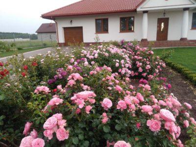 różowe róże rabatowe leonardo da vinci