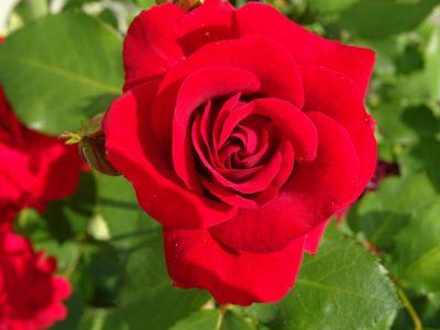 auscrim róża angielska o czerwono szkarłatnych dużych kwiatach