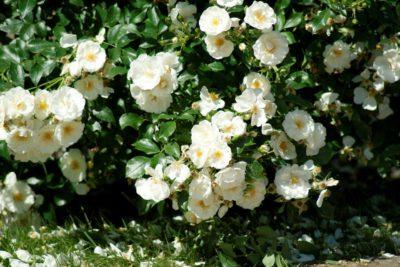 białe róże okrywowe