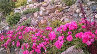 heidetraum wyjątkowo odporne róże okrywowe