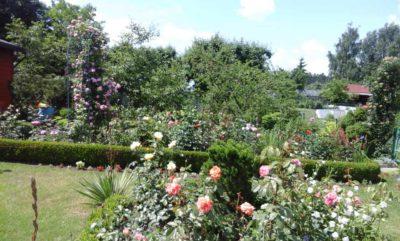 kolekcja róż w ogrodzie