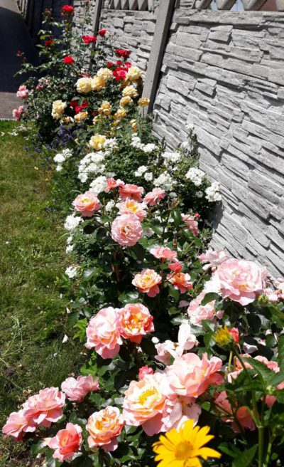 kolekcja róż w różnych kolorach