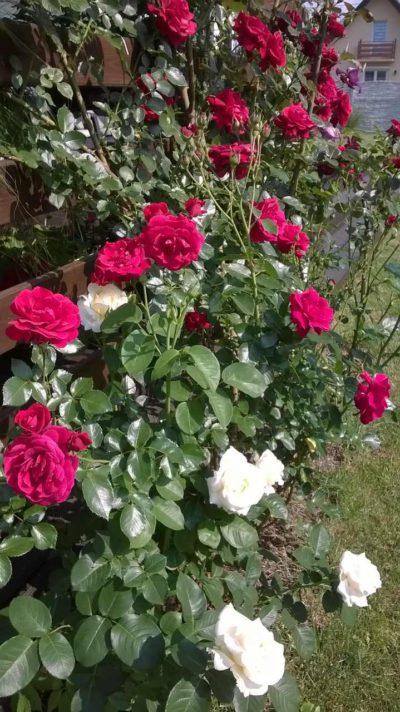 kompozycja róży chopin z różami różowymi