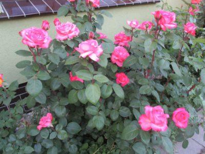 łososiowo różowe róże wielkokwiatowe aachener dom
