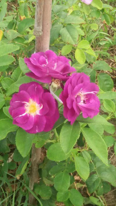 niebieska róża parkowa rhapsody in blue