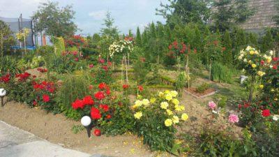 ogród różany różne odmiany