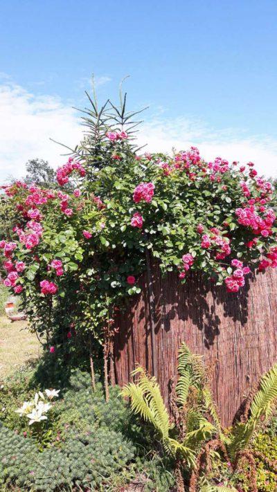 pauls scarlet climber czerwona róża pnąca