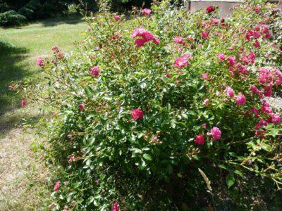 róża okrywowa lovely fairy