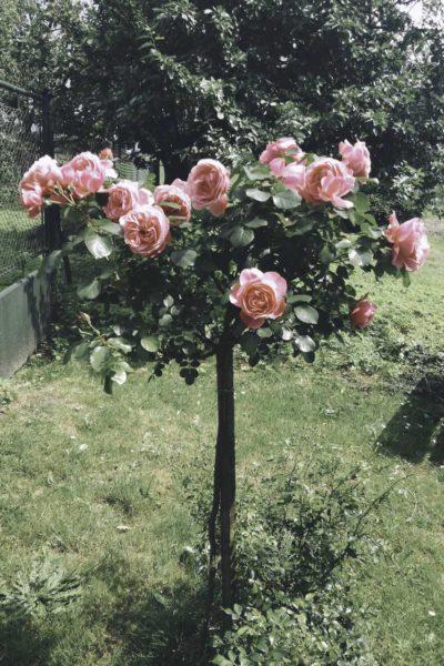 róża pienna leonardo da vinci