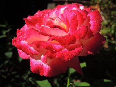 róża wielkokwiatowa double delight