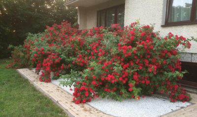 różana rabata róże pnące