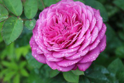 róża miniaturowa heidi klum