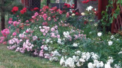 róże odmiany okrywowe