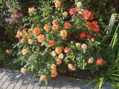 samaritan barwna i pachnąca róża rabatowa
