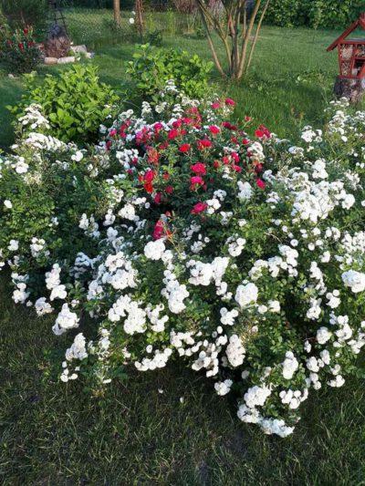alba rose i mercury róże okrywowe
