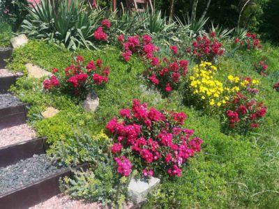 alberich wytrzymałe róże okrywowe