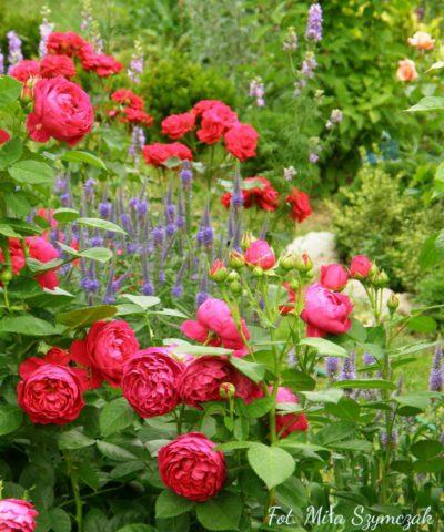 ascot róża wielkokwiatowa