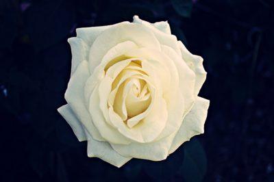 chopin róża wielkokwiatowa