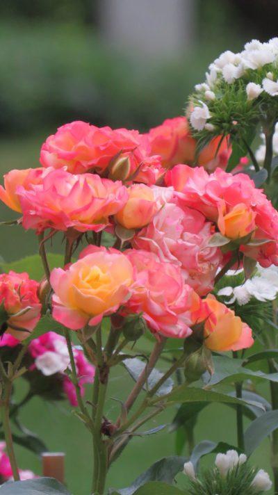 cuba dance rumba róże rabatowe
