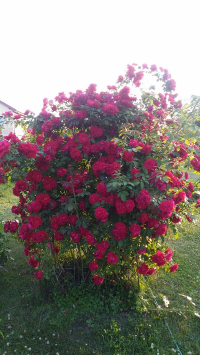 czerwona róża pnąca